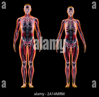 X-ray effect of male and female muscle and skeletal systems on black background. - Stock Photo