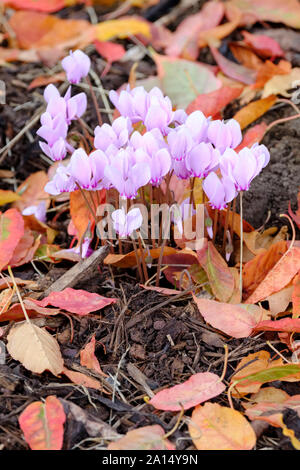Pink flowering Cyclamen hederifolium, ivy-leaved cyclamen or sowbread growing through a bed of autumn leaves - Stock Photo