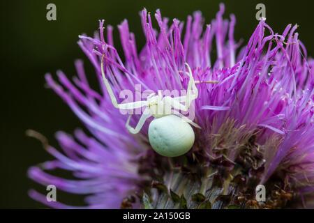 Veraenderliche Krabbenspinne, Misumena vatia, crab spider - Stock Photo