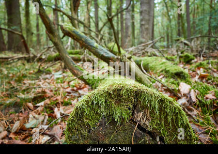 An old fallen log covered with moss in a dark dense forest, selective focus. - Stock Photo