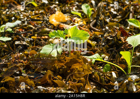 Allotment gardening in the UK - seaweed used as a mulch and fertilizer on raised bed of young brassica plants - Stock Photo
