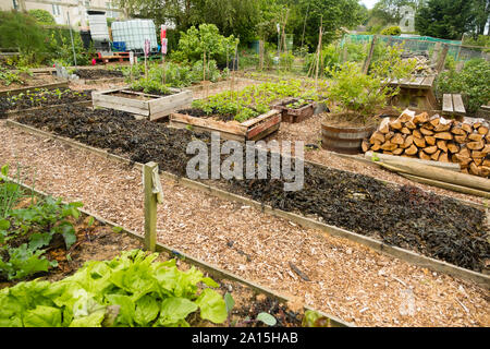 Allotment gardening in the UK - seaweed used as a mulch and fertilizer on raised beds - Stock Photo