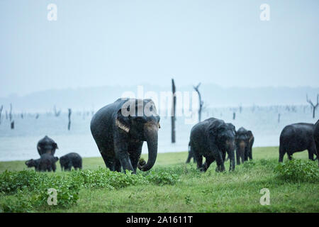 Indian elephant family grazing at Kaudulla National Park against clear sky - Stock Photo