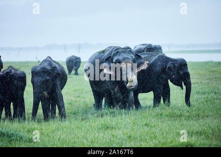 Indian elephants grazing at Kaudulla National Park against clear sky - Stock Photo