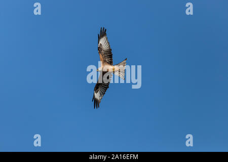 Red Kite photographed at Bwlch Nant yr Arian, Ceredigion, Wales - Stock Photo