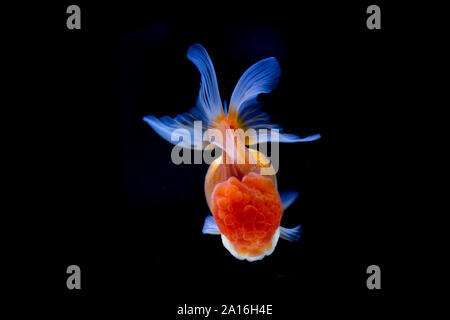 Beautiful Oranda Goldfish swimming in the tank isolated on black background. - Stock Photo