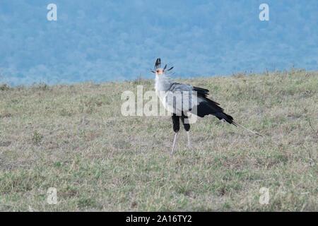 Secretary bird in Ngorongoro Crater, Tanzania - Stock Photo