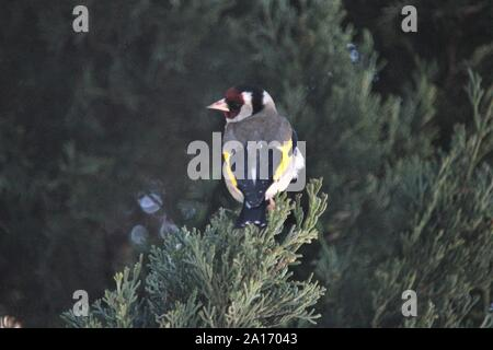Goldfinch (Carduelis carduelis) at Lagos, Algarve, Portugal - Stock Photo