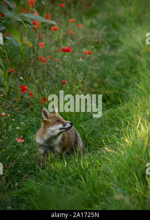 Young Fox looking around on the edge of a crop of Maize and red poppies and white daisies with a shaft of light shining through a gap in the trees. - Stock Photo