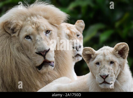 Male, female and young leucistic white lions (Panthera leo krugeri) rare morph with genetic condition called leucism caused by double recessive allele - Stock Photo