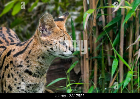Serval (Leptailurus serval / Felis serval) wild cat / feline native to Africa in forest - Stock Photo