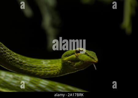 Long-nosed Whipsnake (Ahaetulla nasuta) from Prachuap Khiri Khan Province, Thailand.