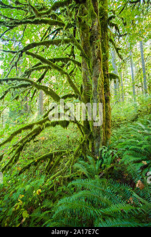 Moss covered trees and ferns in a Pacific Northwest forest at Silver Falls State Park in Oregon Stock Photo
