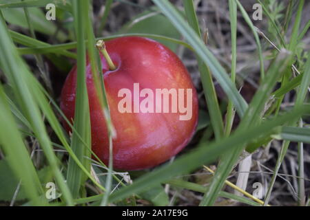 One plum ripe and raw lying on a grass fallen from the tree on a sunny day in a garden. Closeup - Stock Photo