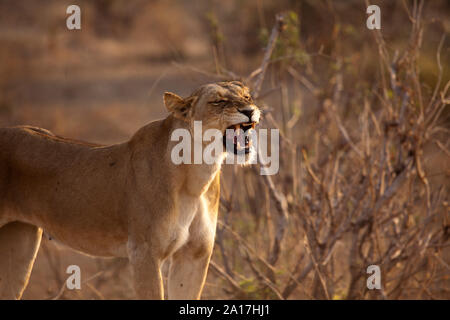 Lioness calling showing her impressive canines in the morning sun, Ruaha National Park, Tanzania. - Stock Photo