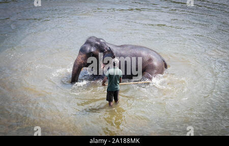 Pinnawala/ Sri Lanka: AUGUST 03- 2019: Asian elephants at river near the village of Pinnawala. Here is a nursery and captive breeding ground for wild - Stock Photo