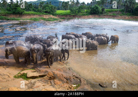 Pinnawala/ Sri Lanka: AUGUST 03- 2019: Asian elephants walking  in a river near the village of Pinnawala. Here is a nursery and captive breeding groun - Stock Photo