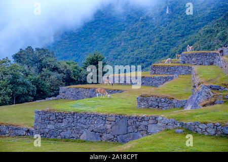Llamas feeding on grass, farming terraces, early morning, Machu Picchu, Machu Pichu, Sacred Valley of the Incas, Peru. - Stock Photo