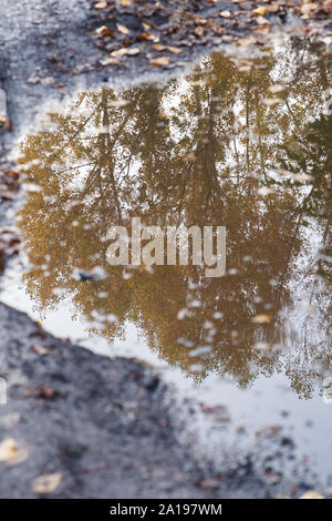 Autumn theme. Reflection in a puddle of a tree with yellow leaves