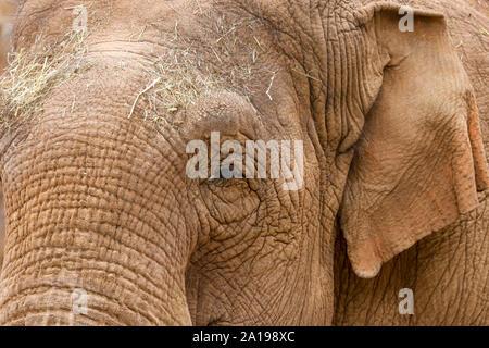 Close up of the head of an Asian Elephant (Elephas maximus) - Stock Photo