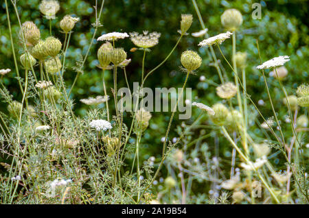 Daucus carota (common names include wild carrot, bird's nest, bishop's lace, and Queen Anne's lace). Photographed in June in the Carmel Mountain, Isra - Stock Photo