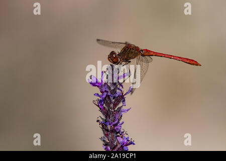 Moustached Darter Dragonfly, (Vagrant Darter) (Sympetrum vulgatum), male - Stock Photo