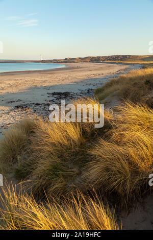 Golden dune grasses at White Sands Beach near Dunbar, Scotland. Stock Photo