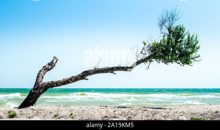 curved broken tree with dry twigs and green leaves on the beach against the backdrop of the sea and blue sky - Stock Photo