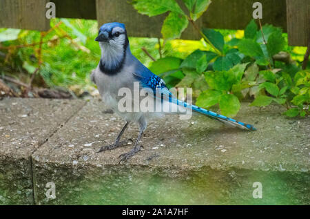 Montreal,Quebec,Canada,September 8,2019. Blue Jay bird on cement divider in Montreal,Quebec,Canada.Credit:Mario Beauregard/Alamy News - Stock Photo