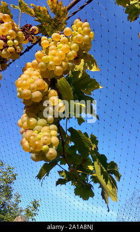 Photo closeup of net protection for wine grapes at autumn harvest time - Stock Photo