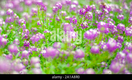 purple white flowers with small round heads - Stock Photo