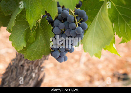Closeup of grapes growing on vine, pinot noir growing in the Languedoc region of France, with characteristic red soil - Stock Photo