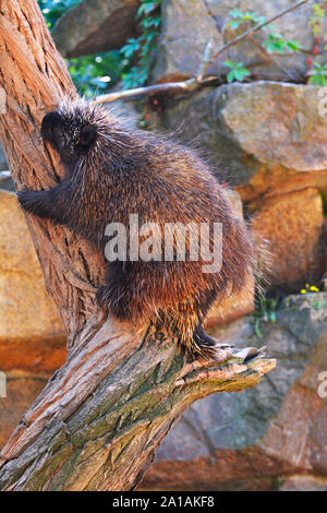 a north american porcupine on a tree - Stock Photo