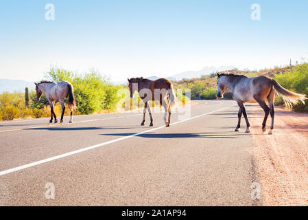 Salt River wild horses crossing the road in the Lower Salt River recreation area of Tonto National Forest, Arizona. - Stock Photo