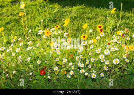 Wildfowers in field, near Braunton, Devon, England, United Kingdom - Stock Photo