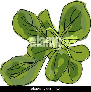 Green mache, illustration, vector on white background. - Stock Photo