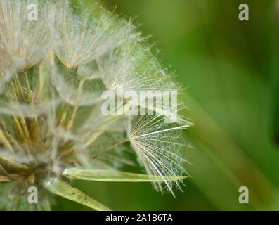 Macro image of Dandelion clock, dandelion seeds - Stock Photo
