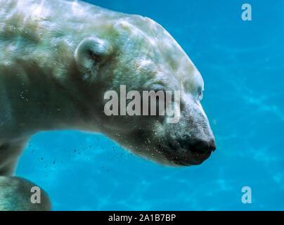 Polar bear (Ursus maritimus / Thalarctos maritimus) swimming underwater - Stock Photo