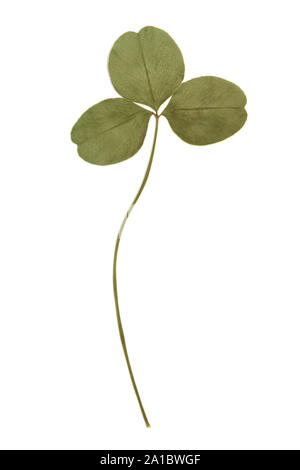 Pressed green clover leaf isolated on white background - Stock Photo