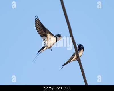 Barn Swallow, Hirundo rustica pair on wire Norfolk spring - Stock Photo