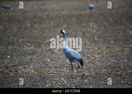 Adult crane on a field and two other cranes in the background on a  field in autumn - Stock Photo