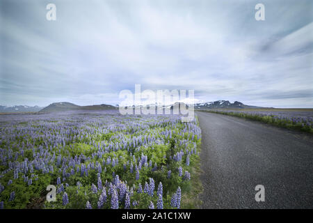A road winds through a field of blooming lupine flowers, Iceland - Stock Photo