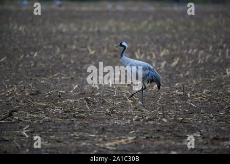 A single adult crane (Grus grus) walking on a field field in autumn. - Stock Photo
