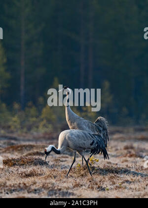 Common Crane Grus grus pair at breeding site on bog near Oulu Finland April - Stock Photo