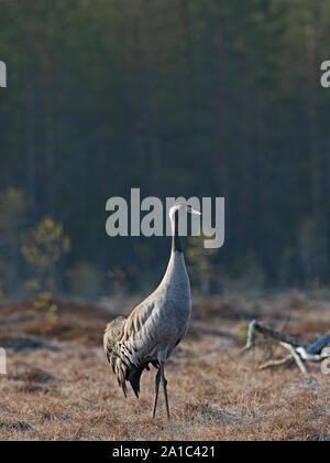 Common Crane Grus grus male  at breeding site on bog near Oulu Finland April - Stock Photo