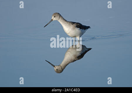 Common Greenshank Tringa nebularia Morston North Norfolk winter - Stock Photo