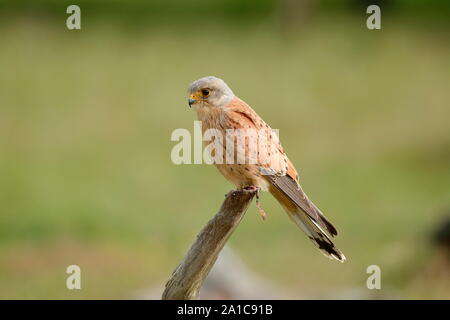 The common kestrel is a bird of prey species belonging to the kestrel group of the falcon family Falconidae. It is also known as the European kestrel. - Stock Photo
