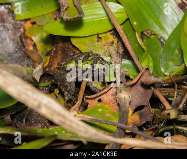 Blanchard's cricket frog, tree frog species, in its natural environment of vegetation on the shore line of a pond.