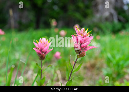 Albion Basin, Utah green summer trail in 2019 with bright pink Indian Paintbrush flowers wildflowers closeup - Stock Photo