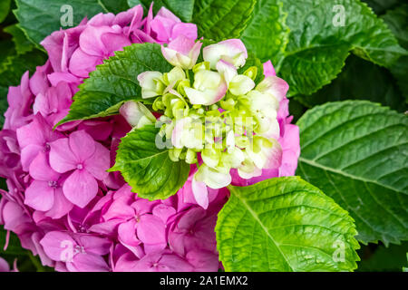 close up big leaf hydrangea flower in nature. - Stock Photo